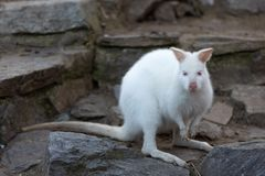 Necked Wallaby albinosa biała kobieta fotografia royalty free
