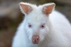 Necked Wallaby albinosa bia?a kobieta obrazy royalty free