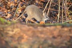 Necked wallaby joey Fotografia Royalty Free