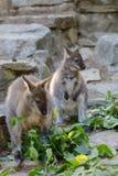 Necked Wallaby kangura dziecko pasa zdjęcie royalty free