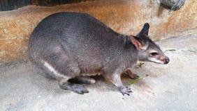 Necked wallaby lub Bennett wallaby obraz royalty free