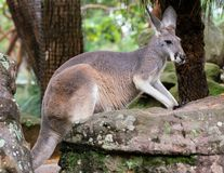 Necked wallaby lub Bennetts wallaby Macropus rufogriseus w NSW Australia zdjęcia royalty free