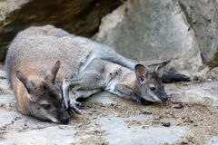 Necked wallaby Macropus rufogriseus obrazy stock