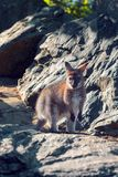 Necked wallaby Macropus rufogriseus obraz stock