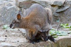 Necked wallaby Macropus rufogriseus zdjęcie royalty free