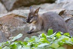 Necked wallaby Macropus rufogriseus fotografia royalty free