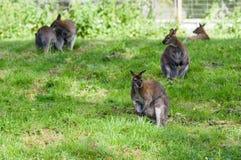 Necked wallaby na trawie zdjęcia stock