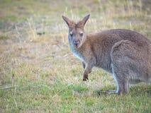 Necked Wallaby portret obraz royalty free
