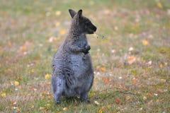 Necked wallaby Tasmania Australia outdoors obraz stock
