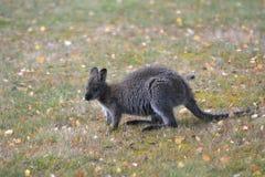 Necked wallaby Tasmania Australia outdoors zdjęcie stock