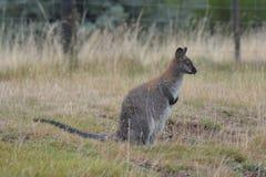 Necked wallaby Tasmania Australia outdoors obraz royalty free