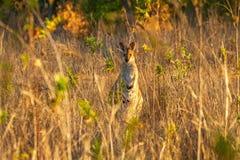Necked Wallaby w Australia obraz royalty free