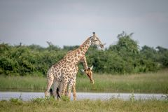 Necking 2 жирафов в Chobe стоковое фото rf