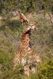 Necking giraffe. Two male giraffes fighting by clashing their necks together Royalty Free Stock Image