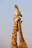 Necking Giraffes Stock Photo