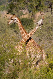 Necking giraffes Royalty Free Stock Photo