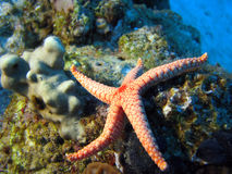 Necklace pearl Sea Star. (Fromia Monilis stock photography