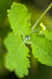 Necklace of tears. Water drops on the Leaf Stock Photography