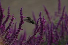Nectar Bird. Hummingbird in Lavender Field Royalty Free Stock Images