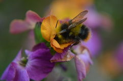 Nectar Collector. A Bumble Bee gathers nectar from a flowering plant royalty free stock photography