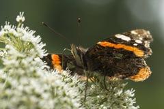 Nectar de alimentation d'atalanta de Vanessa de papillon d'amiral rouge Images stock