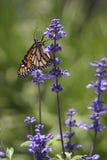 Nectar doux Image libre de droits
