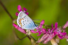Nectar from a flower Stock Photos