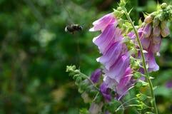 Nectar, Flower, Bee, Flora Royalty Free Stock Photo