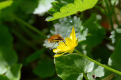 Nectar fly drinking from a buttercup yellow corolla in flight Stock Photography