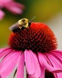 Nectar Harvesting. A bee harvesting nectar on a flower Stock Photos