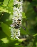Nectar Lover nella primavera fotografie stock