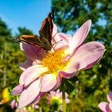 Nectar potable de Vanessa Atalanta de Rosy Lily Image stock