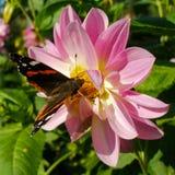Nectar potable de Vanessa Atalanta de Rosy Lily Images libres de droits