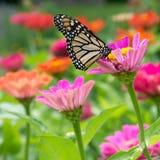Nectar sirotant de monarque d'une fleur de Zinnia Photos libres de droits