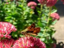 Nectar sirotant de papillon de capitaine photographie stock