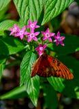 Nectar sirotant de papillon de fritillaire de Golfe photographie stock libre de droits