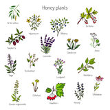 Nectar sources for honey bees. Plants - nectar sources for honey bees. Vector set Royalty Free Stock Images
