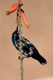 Nectare sorseggiante del piccolo uccello Fotografia Stock Libera da Diritti