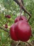 Nectarina Imagens de Stock Royalty Free