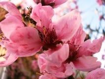 Nectarina da flor Fotos de Stock Royalty Free