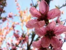 Nectarina da flor Fotografia de Stock Royalty Free