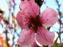 Nectarina da flor Fotografia de Stock