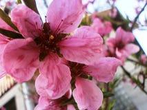 Nectarina da flor Foto de Stock