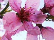 Nectarina da flor Foto de Stock Royalty Free