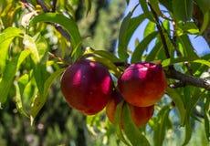 Nectarina vermelhas maduras que penduram de uma árvore Imagem de Stock