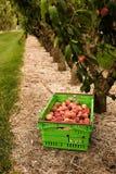 Nectarinas de la cosecha en la huerta en Nueva Zelanda La fruta jugosa hermosa necesita ser escogida este verano Fotografía de archivo