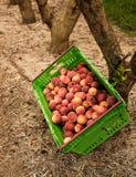 Nectarinas de la cosecha en la huerta en Nueva Zelanda La fruta jugosa hermosa necesita ser escogida este verano Imagen de archivo