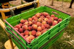 Nectarinas de la cosecha en la huerta en Nueva Zelanda La fruta jugosa hermosa necesita ser escogida este verano Fotografía de archivo libre de regalías