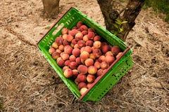Nectarinas de la cosecha en la huerta en Nueva Zelanda La fruta jugosa hermosa necesita ser escogida este verano Foto de archivo libre de regalías