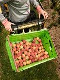 Nectarinas de la cosecha en la huerta en Nueva Zelanda La fruta jugosa hermosa necesita ser escogida este verano Fotos de archivo libres de regalías
